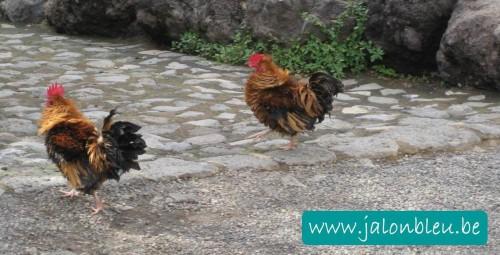 poules2.jpg